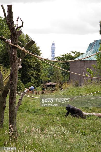 Gorilla Kingdom London Zoo London United Kingdom Architect Proctor Matthews Architects Gorilla Kingdom Gorilla With Bt Tower