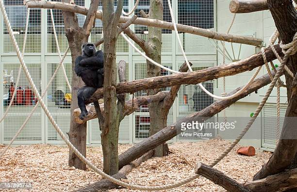 Gorilla Kingdom London Zoo London United Kingdom Architect Proctor Matthews Architects Gorilla Kingdom Gorilla Relaxing In A Tree
