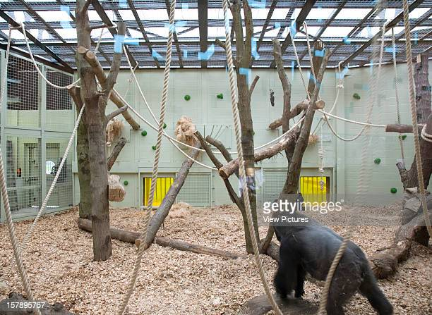 Gorilla Kingdom London Zoo London United Kingdom Architect Proctor Matthews Architects Gorilla Kingdom Deatail Of Internal Gorilla Enclosure