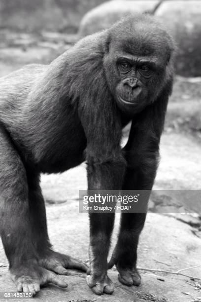 Gorilla looking away