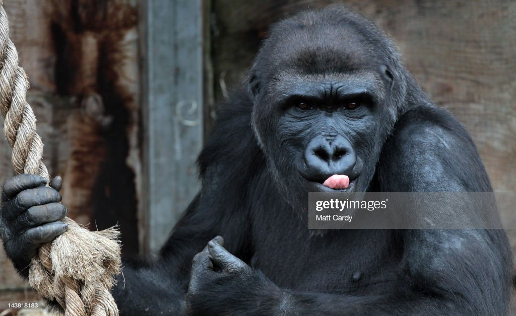 A gorilla looks out from Bristol Zoo's Gorilla Island on May 4 2012 in Bristol England Kukena the sevenmonthold western lowland gorilla is starting...