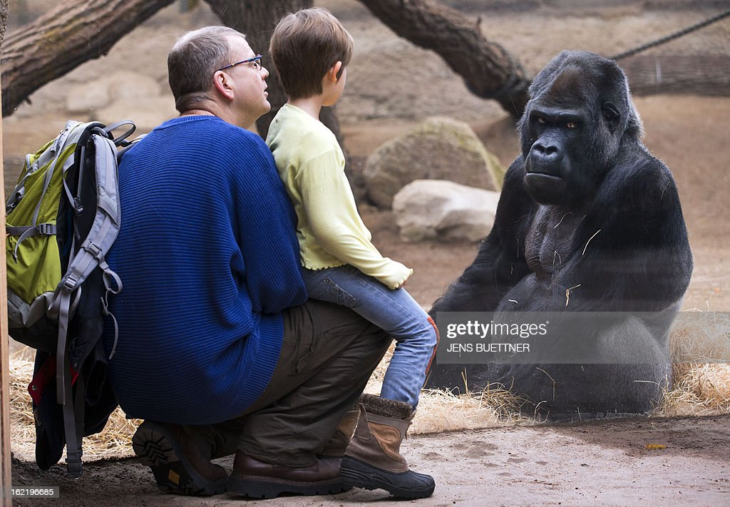 Gorilla Martha, five years old, looks to visitors on February 20, 2013 at the Darwineum zoo in Rostock, northeastern Germany.