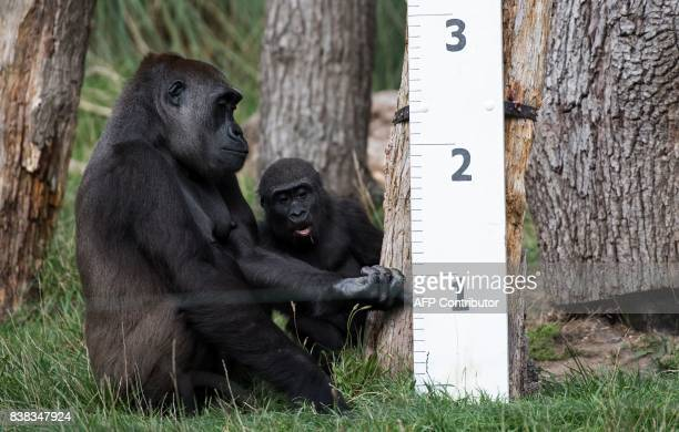 Gorilla 'Mjukuu' and her baby 'Alika' check out a measuring device in an enclosure during a photocall at London Zoo on August 24 to promote the zoo's...