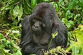 Gorilla of Amahoro family in Virungas National Park (Volcanoes National Park).