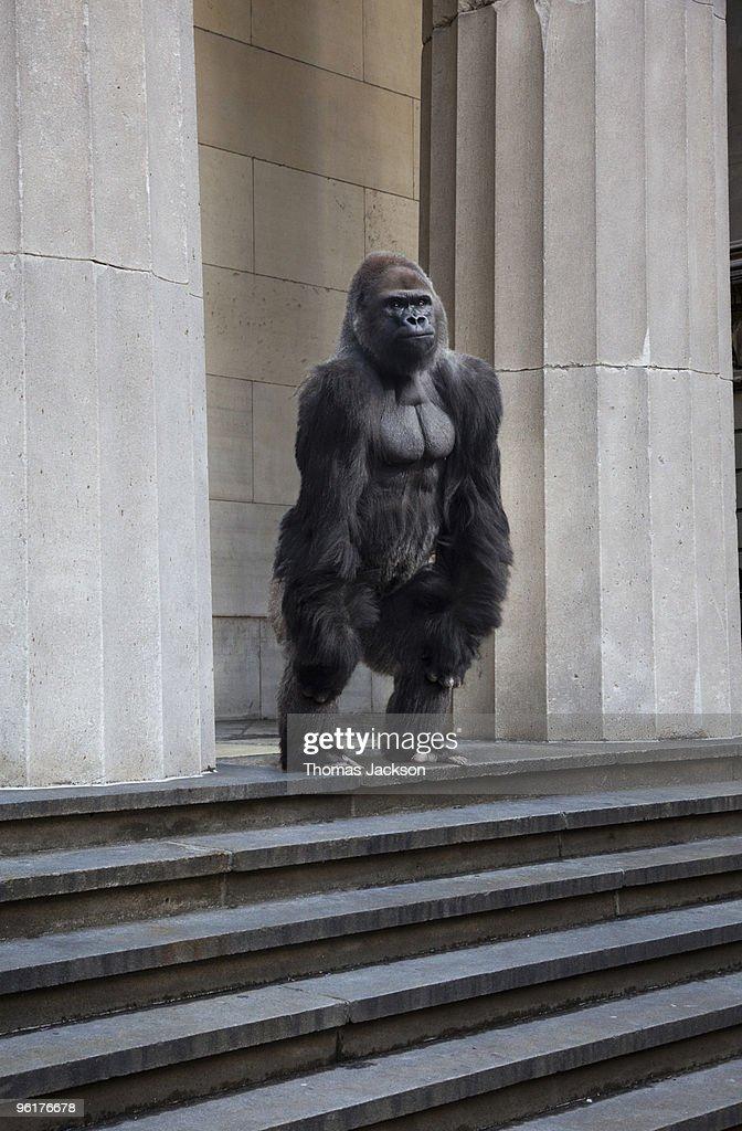 Gorilla on steps of building