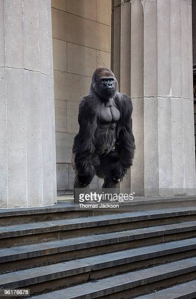 Gorilla on steps of building