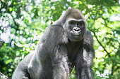 View of typical Western Lowland Gorilla among leafy trees