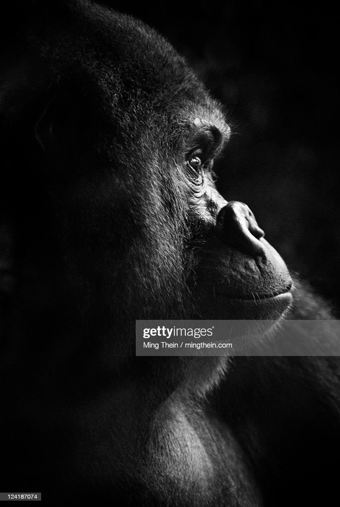 Gorilla portrait monochrome low key
