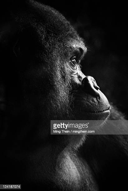 Gorilla portrait monochrome low key