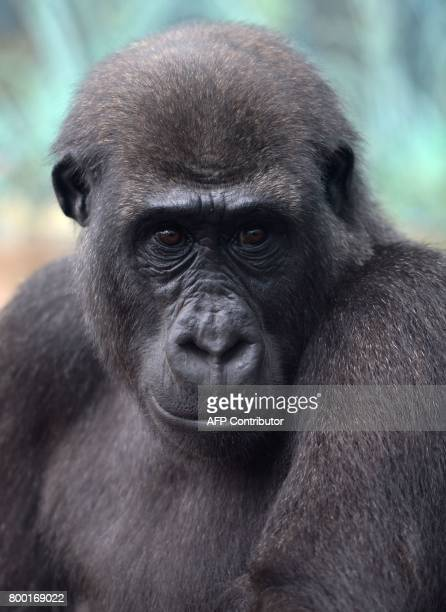 A gorilla poses on June 23 2017 at the Beauval Zoo in SaintAignansurCher central France / AFP PHOTO / GUILLAUME SOUVANT