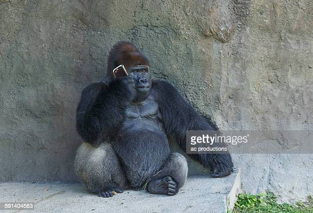 Gorilla sitting against stone wall using cell phone