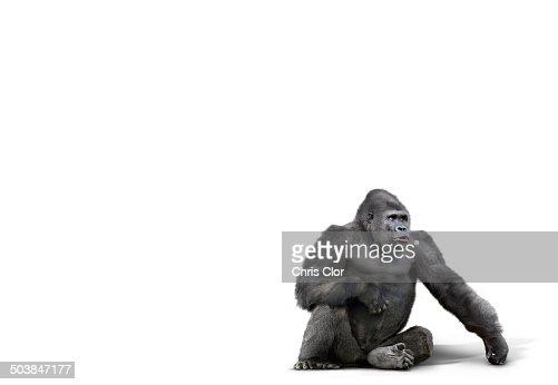 Gorilla sitting in studio