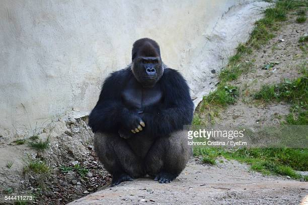 Gorilla Sitting Outdoors