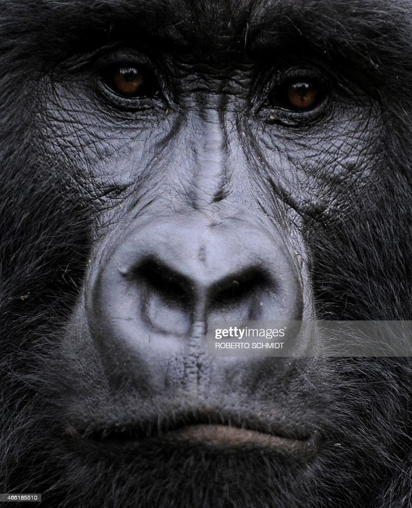 A gorilla stares while sitting in a clearing on the slopes of Mount Mikeno in the Virunga National Park on November 28, 2008. The park is home to 200 of the world's last 700 mountain gorillas. Park director Emmanuel de Merode later described the discovery of five new-borns at the outset of a month-long census as 'quite phenomenal', given that the endangered gorillas' habitat has long been a war zone.