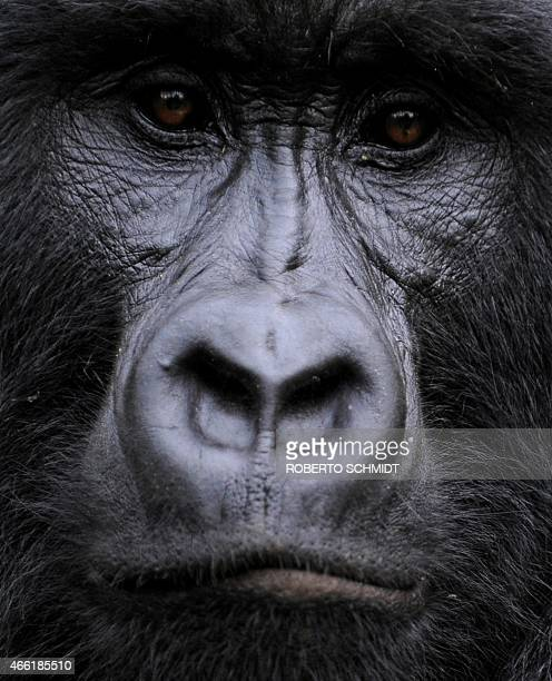 A gorilla stares while sitting in a clearing on the slopes of Mount Mikeno in the Virunga National Park on November 28 2008 The park is home to 200...