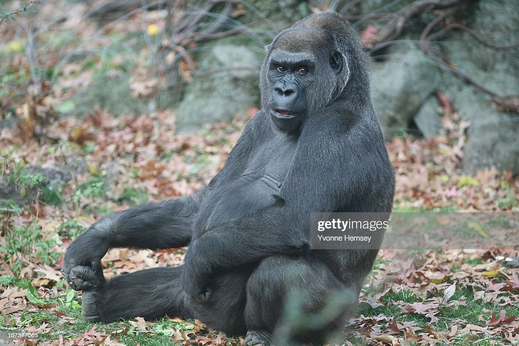 Gorilla Trinska sits at the Bronx Zoo's Congo Gorilla Forest Exhibit November 24, 2010 in the Bronx borough of New York City.