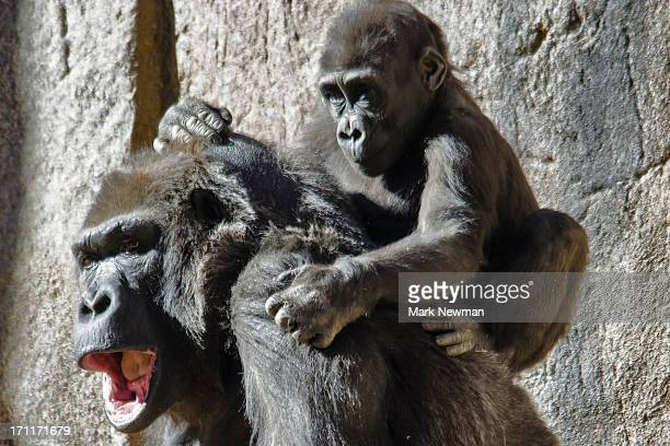 Gorilla with baby on back