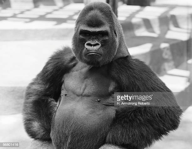 Gorilla with hands on hips frowning