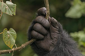 A mountain gorilla holds a vine in the jungle of Rwanda