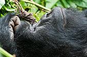 Gorillas in Virungas National Park (Volcanoes National Park), Amahoro family.