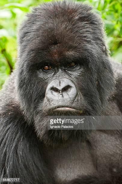 Gorillas in Virungas National Park Volcanoes Nat P