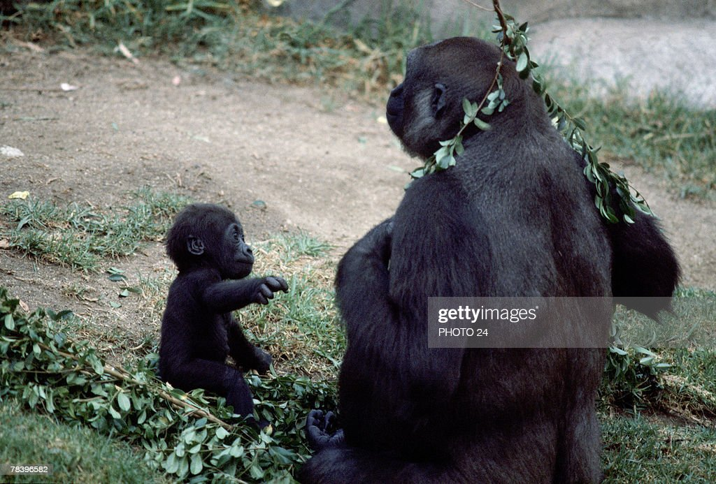 Gorillas with tree branches : Stock Photo