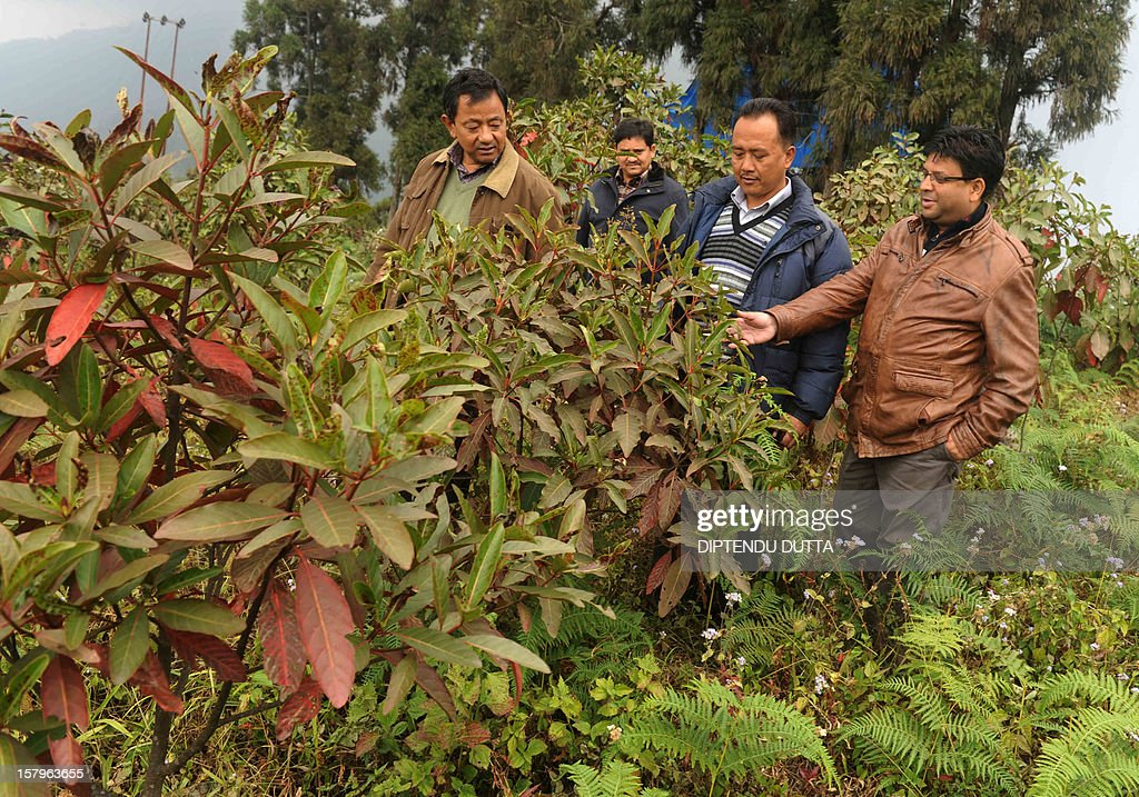 Gorkha Janmukti Morcha (GJM) general secretary Roshan Giri ( R) inspects cinchona medicine plants at Latpanchar village some 40kms north from Siliguri on December 8, 2012. Latpanchar plantation was established in 1943 with a focus upon delivery of natural Quinine from the cinchona medicine plants. During the subsequent decades, the plantation also diversified into a variety of crops like Cinchona, Ipecac and Mandarin Orange, which also drew major revenue for the region. AFP PHOTO/ Diptendu DUTTA