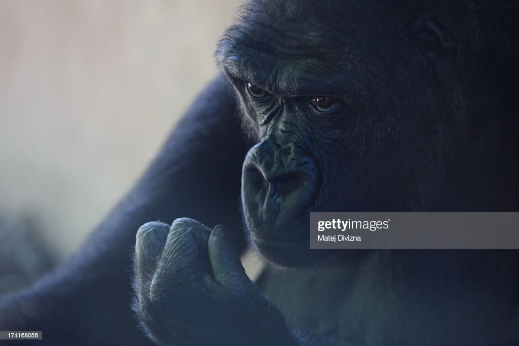 A gorrila looks in the shade during sunny day at Prague Zoo on July 21, 2013 in Prague, Czech Republic. This week was one of the driest weeks since 1951, according to Czech meteorologists.