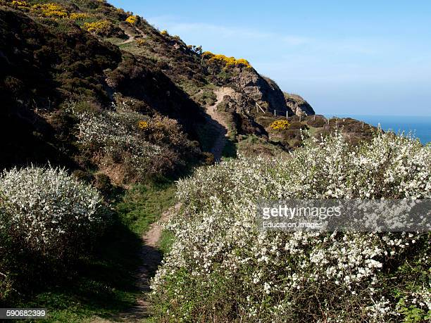 Gorse and Hawthorn flowering along the south west coast path Marsland Cornwall UK