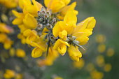 Sunny yellow gorse flower petals