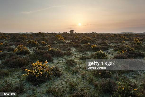 Gorse flowering on Barren Heathland