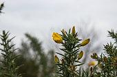 Gorse (Ulex europaeus) flowers in bloom in winter.