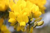 Close up of yellow gorse flower in bloom.