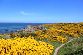 Bright yellow flowers burst out from the rough Gorse bushes along the coastal path on the Moray Firth. Taken in summer 2016 at Hopeman, Highlands, Scotland.