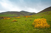 Green spring meadows with Gorse yellow flowers and fields in Pentland Hills , Edinburgh, Scotland.