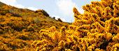 Gorse yellow flowers spring meadows in Edinburgh, Scotland.