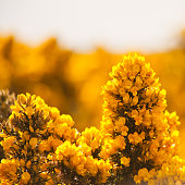 Gorse  - macro photography of yellow blossom spring meadows in Scotland, smells like coconut.