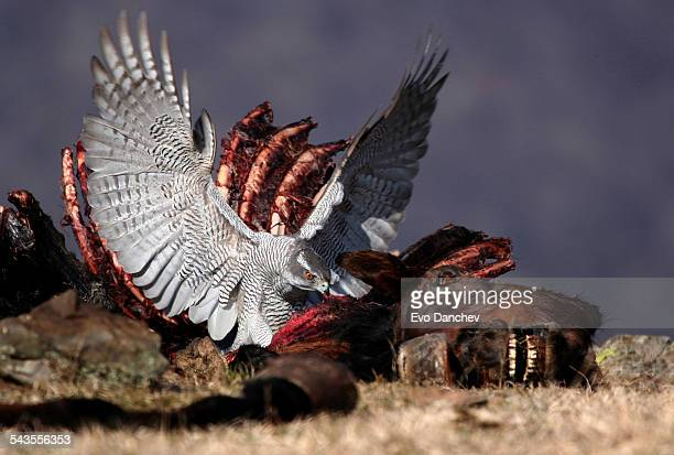 Goshawk eats from a horse carcass