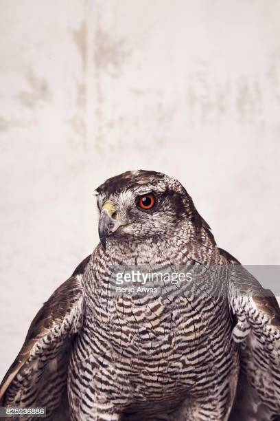 A goshawk of PBS's 'H is for Hawk A New Chapter' poses for a portrait during the 2017 Summer Television Critics Association Press Tour at The Beverly...