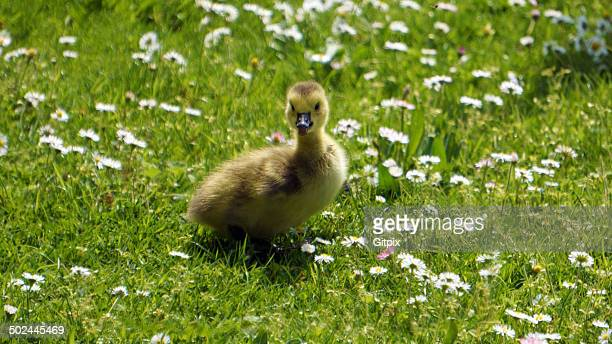 Gosling on a meadow