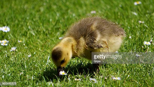 Gosling on a spring meadow