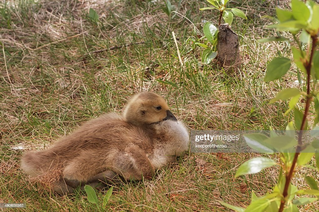 Gosling Sitting in a Park : Stock Photo