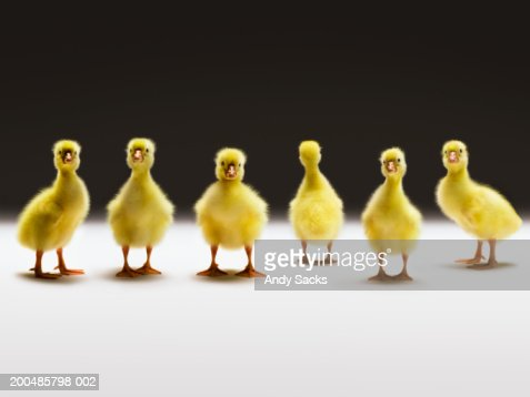 Goslings in line, one facing back, close-up (digital composite)