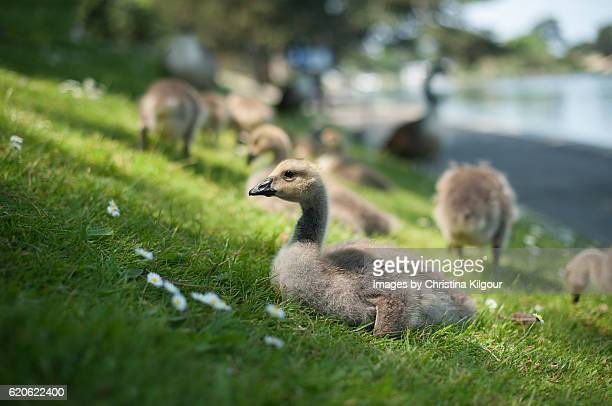 Goslings on a grassy bank