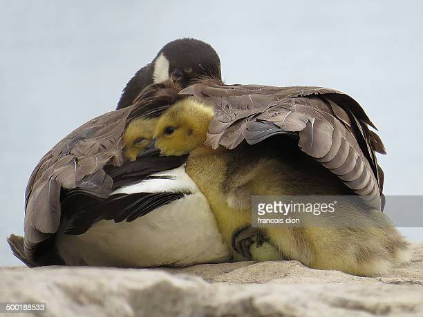 Goslings under mom's wing