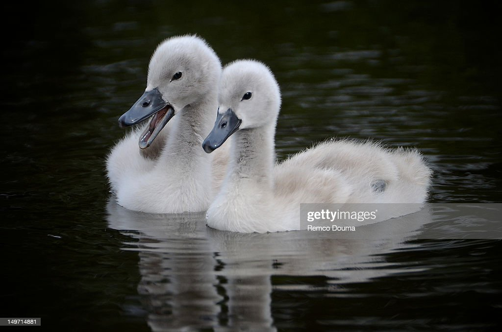 Gossiping swans : Stock Photo