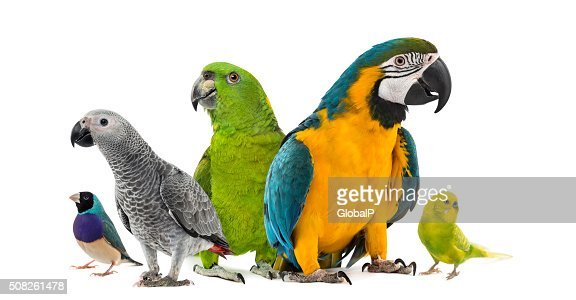 Goup of parrots in front of a white background : Stock Photo