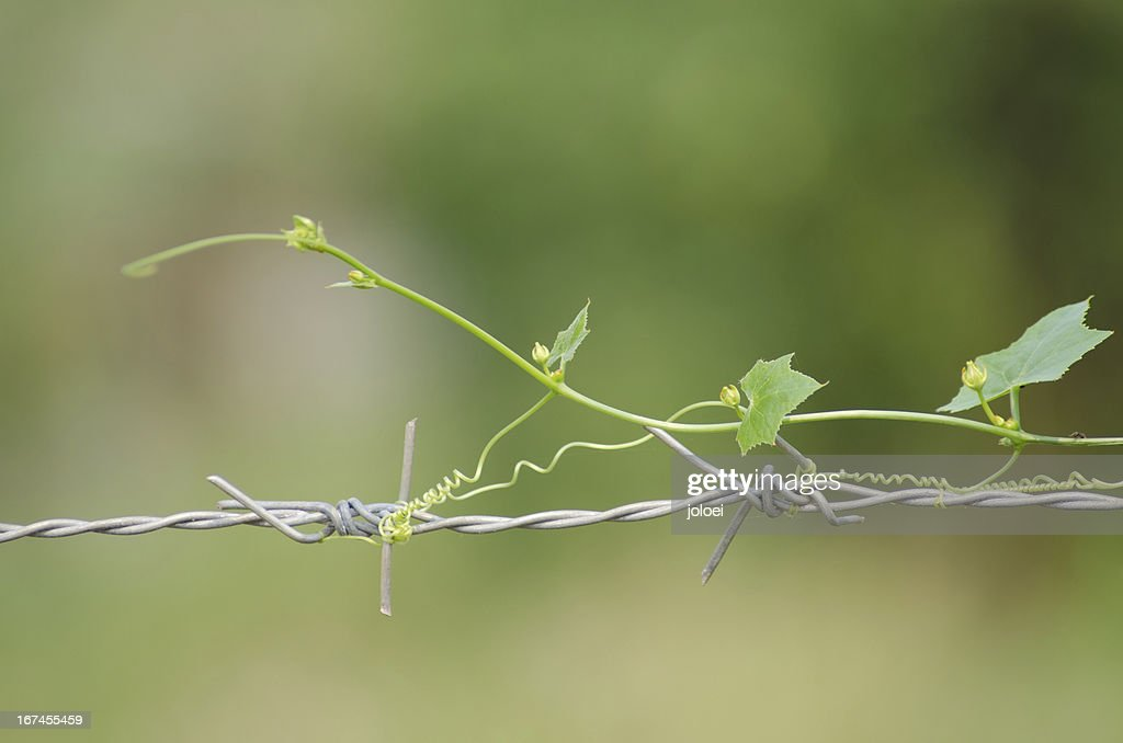 Gourd on the barbed wire : Stock Photo