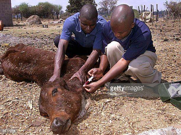 A government veterinary surgeon and a member of the SPCA take blood samples from a dying cow at a farm invaded by a former governer of the Reserve...