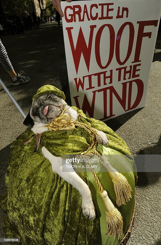 Gracie the Pug as Scarlett O'Hara participates in the Tompkins Square Park 20th Annual Halloween Dog Parade October 23 2010 in New York City AFP...